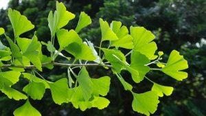 استفاده از گیاه شاه بلوط هندی برای درمان واریس