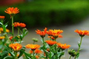 استفاده از گیاه قره قاط برای درمان واریس